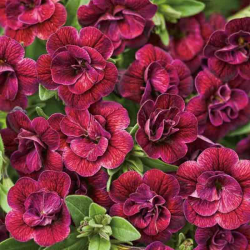 Calibrachoa Hybrida Double Burgundy Red