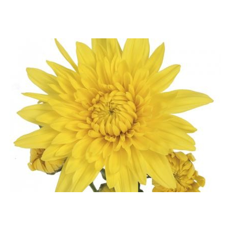 Chrysanthème Chrydance Pogo Jaune