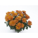 Chrysanthème Chrydance Polka Orange