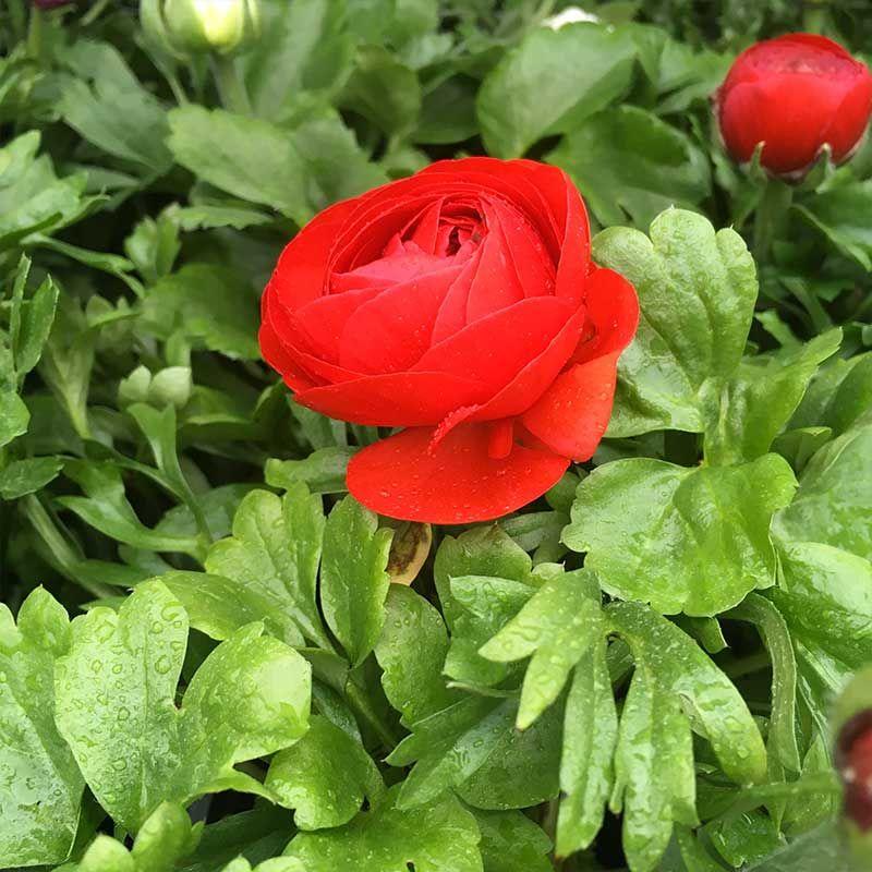 Acheter renoncule asiaticus mach rouge et autres plantes for Acheter plantes sur internet