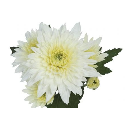 Chrysanthème Chrydance Reggae Blanc