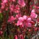 120-gaura-belleza-pink