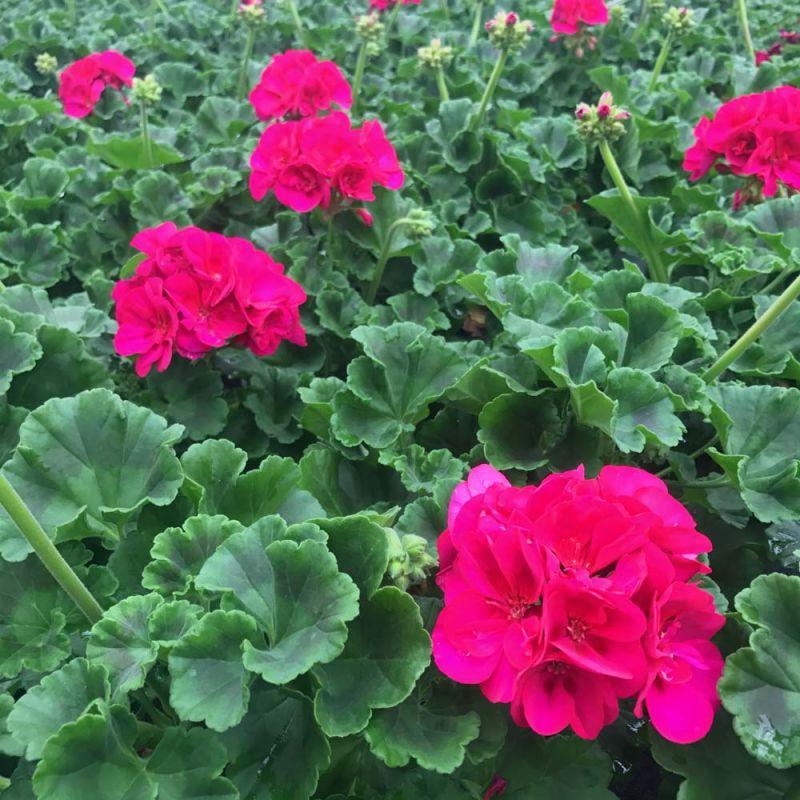 acheter geranium zonal toscana regina et autres plantes sur coclicoh. Black Bedroom Furniture Sets. Home Design Ideas