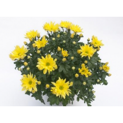 Chrysanthème Chrydance Ska Jaune