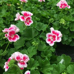 Geranium Droit Flowerfairy White Splash