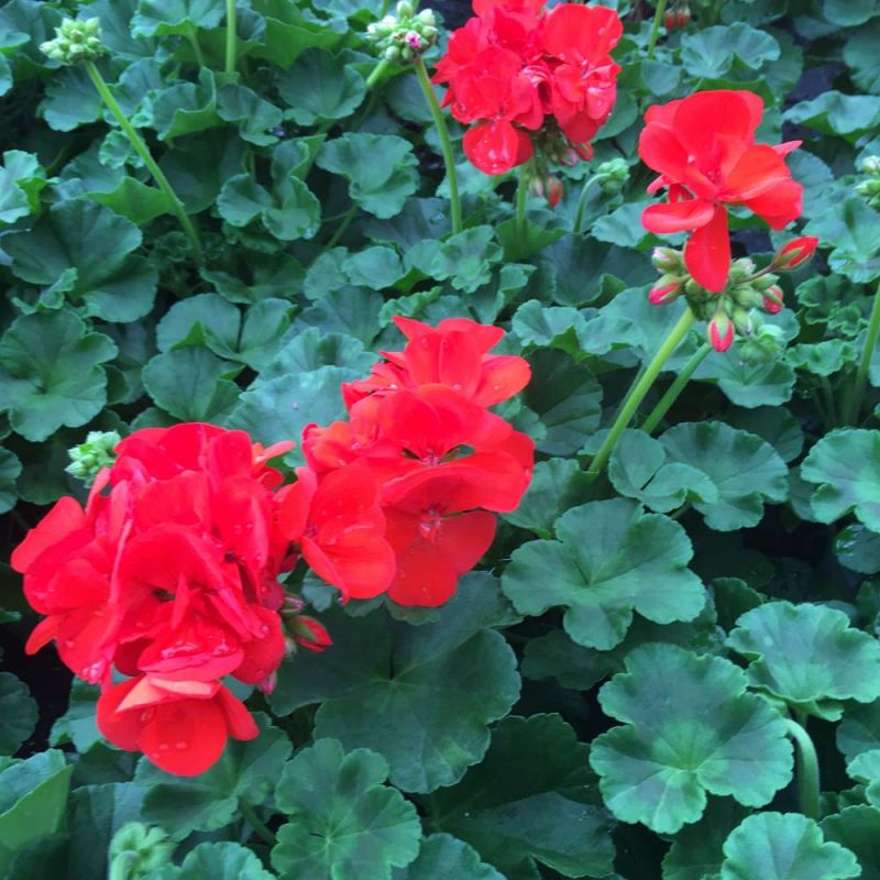 acheter geranium droit zonal anthony rouge. Black Bedroom Furniture Sets. Home Design Ideas