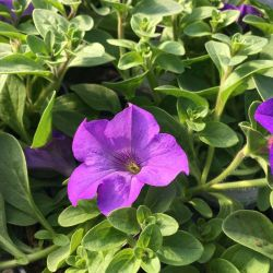 Petunia Surfinia Heavenly Blue
