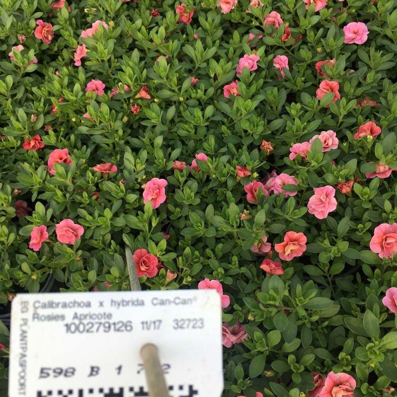 Acheter calibrachoa cancan rosies apricote et autres for Acheter plante sur internet
