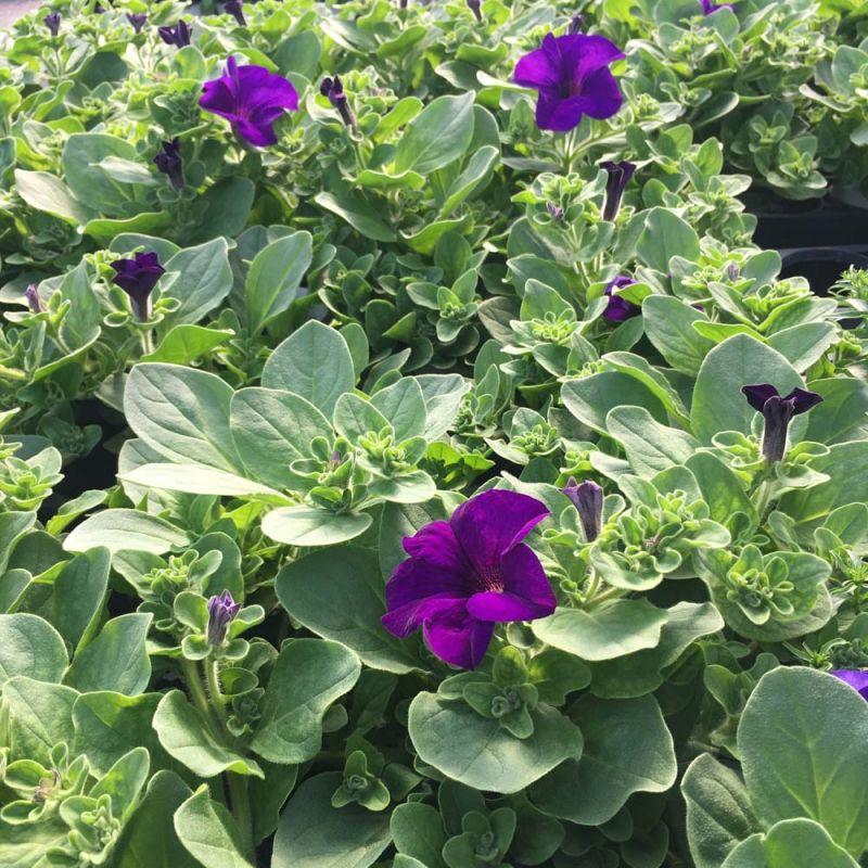 acheter petunia retombant surfinia giant blue et autres plantes sur coclicoh. Black Bedroom Furniture Sets. Home Design Ideas