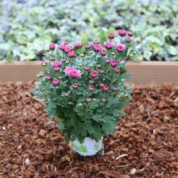 Petit Chrysanthème Rose