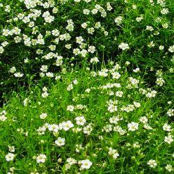 Sagine Subulata Irish Moss