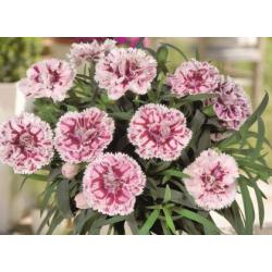 oeillet Dianthus Supertrouper Sissy