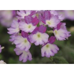 Verveine Bebop Lavender