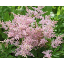 Astilbe Hybrida Younique Pink