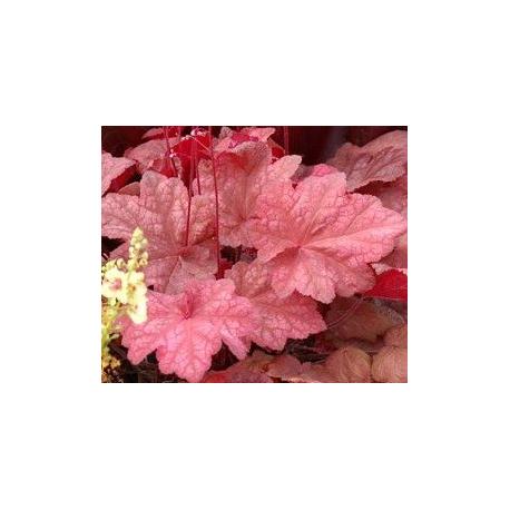 Heuchère Hybrida Automn Leaves