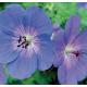 Géranium Vivace Rozanne Hybride