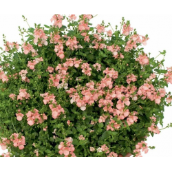 Diascia Genta Pink