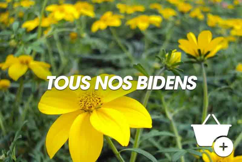 Acheter plantes de Bidens