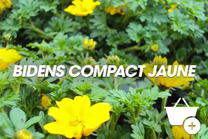 Bidens compact jaune retombant