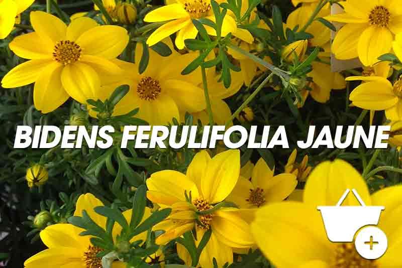 Biens retombant ferulifolia