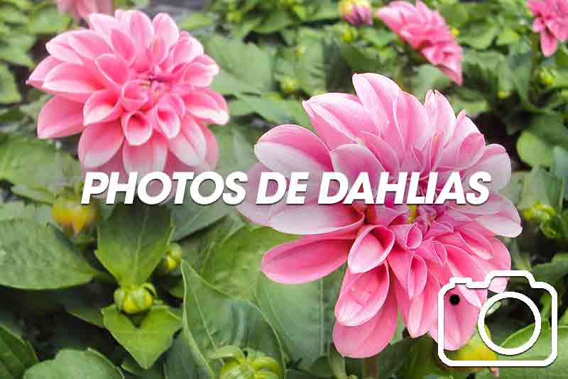 Photos de dahlias