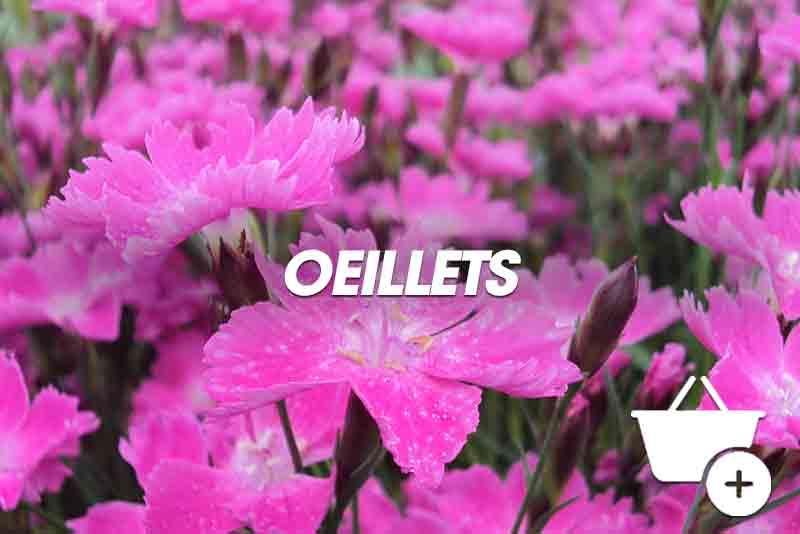 Oeillets Dianthus