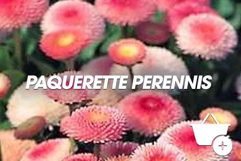 acheter Paquerette Perrenis rose