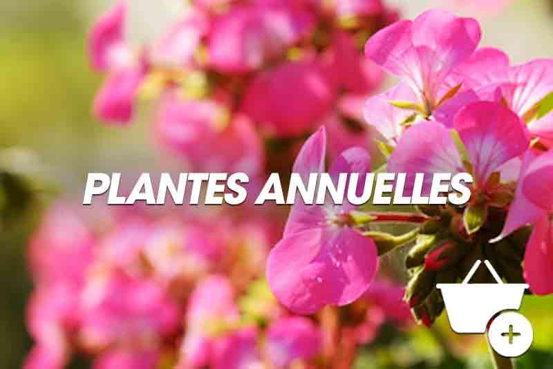 Chrysanthème panaché