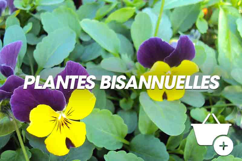 Nos plantes bisannuelles