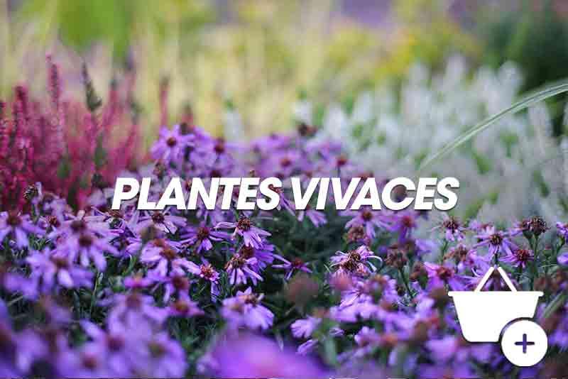Renoncule une plante vivace tr s color e coclicoh for Plantes vivaces rustiques