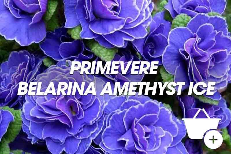acheter Primevere Belarina Amethyst Ice