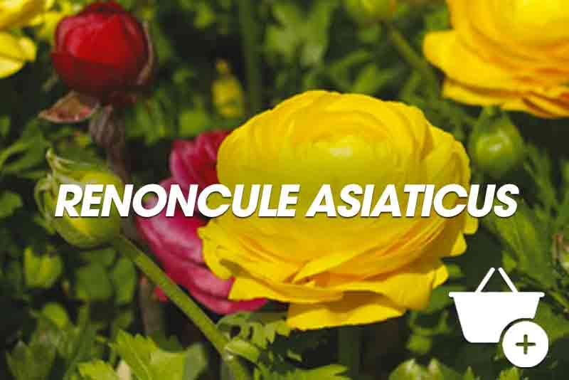 acheter Renoncule Asiaticus