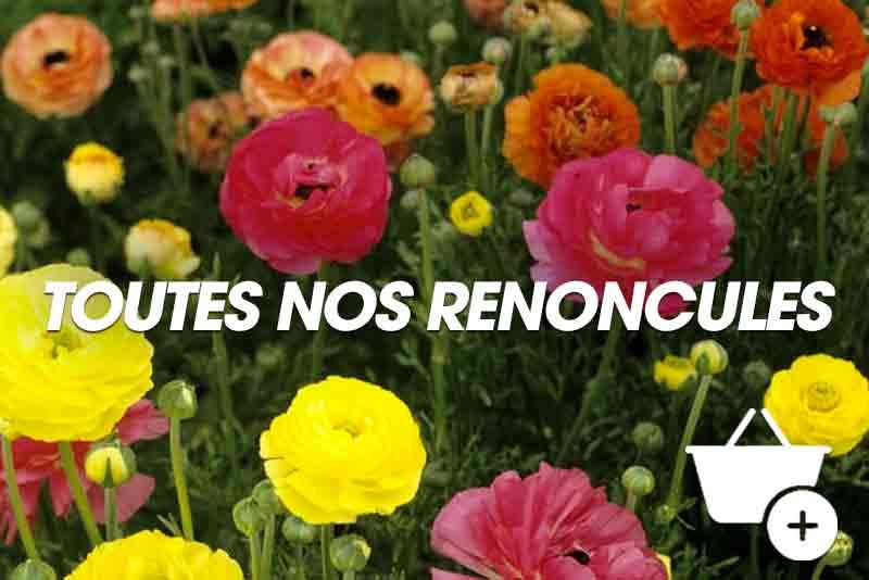 Nos plantes : Renoncules