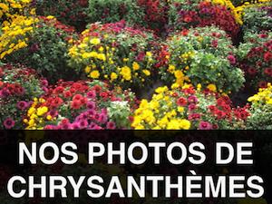 photos de chrysanthèmes
