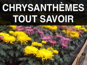 tout savoir sur les chrysanthèmes