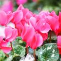 Le Cyclamen, de la couleur au jardin !