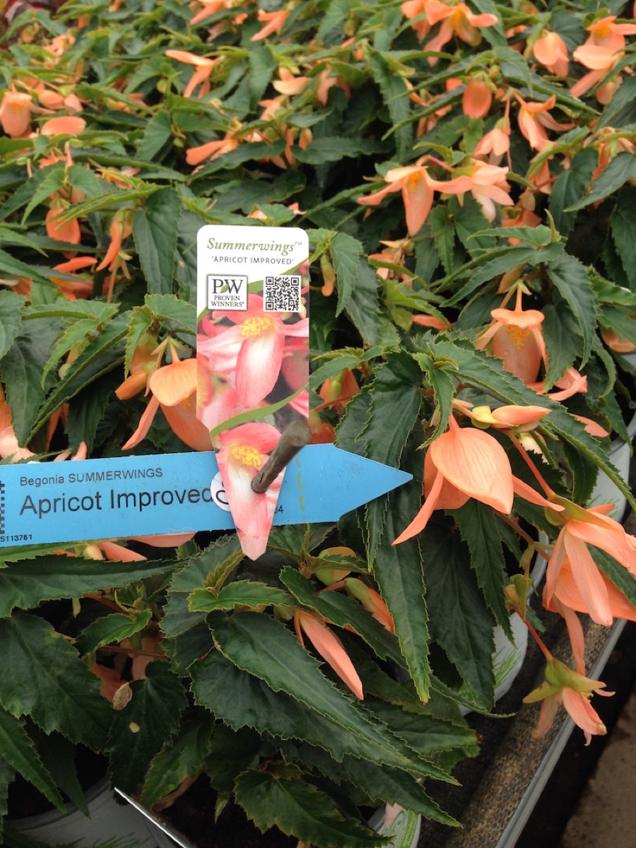 begonia summerwings apricot