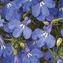 Lobelia Anabel Blue