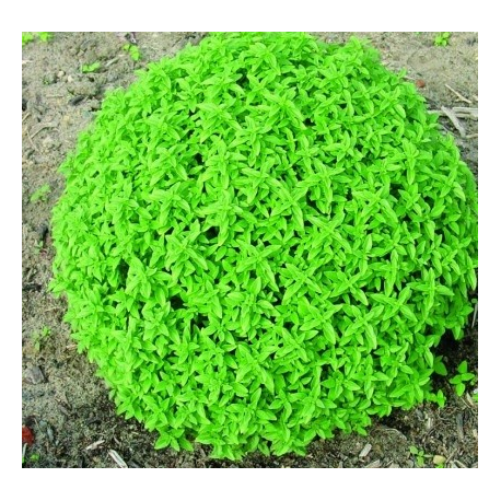 Basilic Herbalea Green Ball