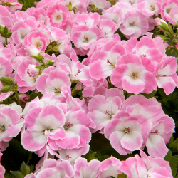 Pelargonium Pac Bermuda Soft Pink