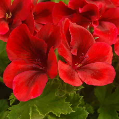 Pelargonium Pac Candy Flower Bright Red
