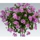 Geranium Lierre Amethyst Improved