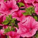 Petunia Surfinia Hot Pink
