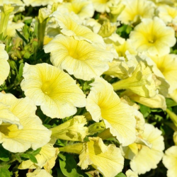 Petunia Surfinia Yellow Dream