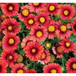 Gaillarde Grandiflora Arizona Red Shades
