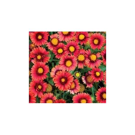 Gaillarde Grandiflora Arizona Red Shades