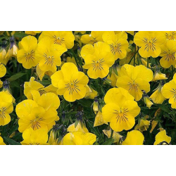 Jardinière de pensées viola cornuta jaune