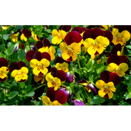 Jardinière de pensées viola cornuta jaune violet