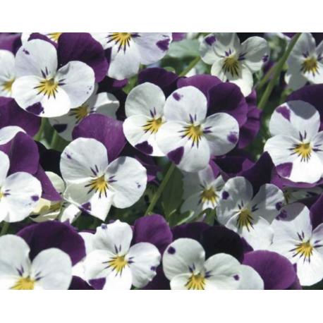 Jardinière de pensées viola cornuta violet blanc