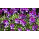 Jardinière de pensées viola cornuta violet